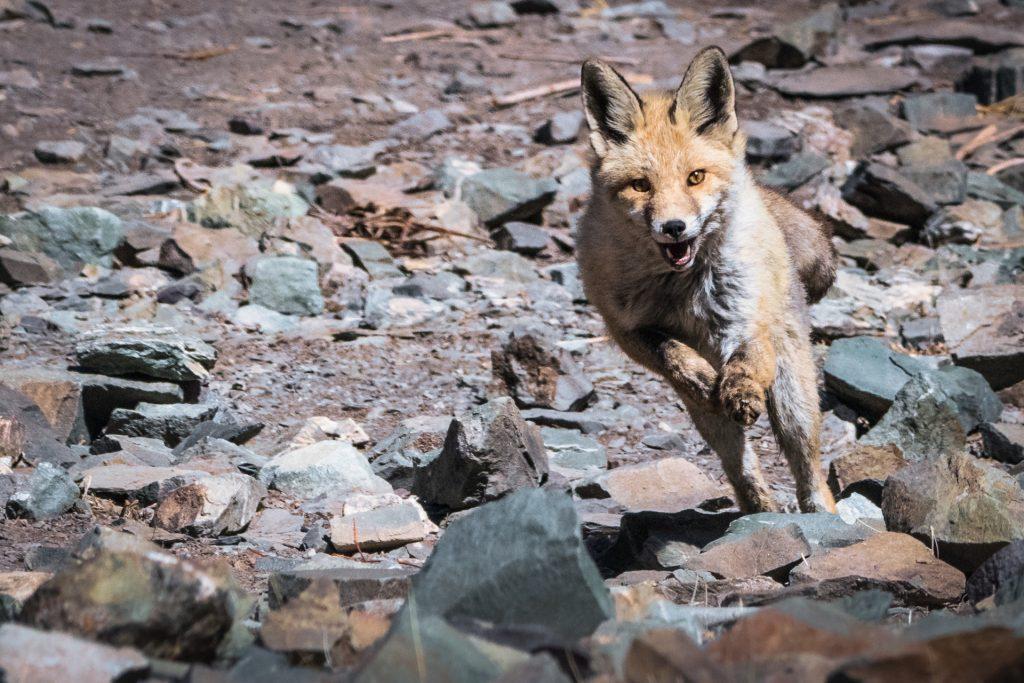 A fox by the LUNGMĀR