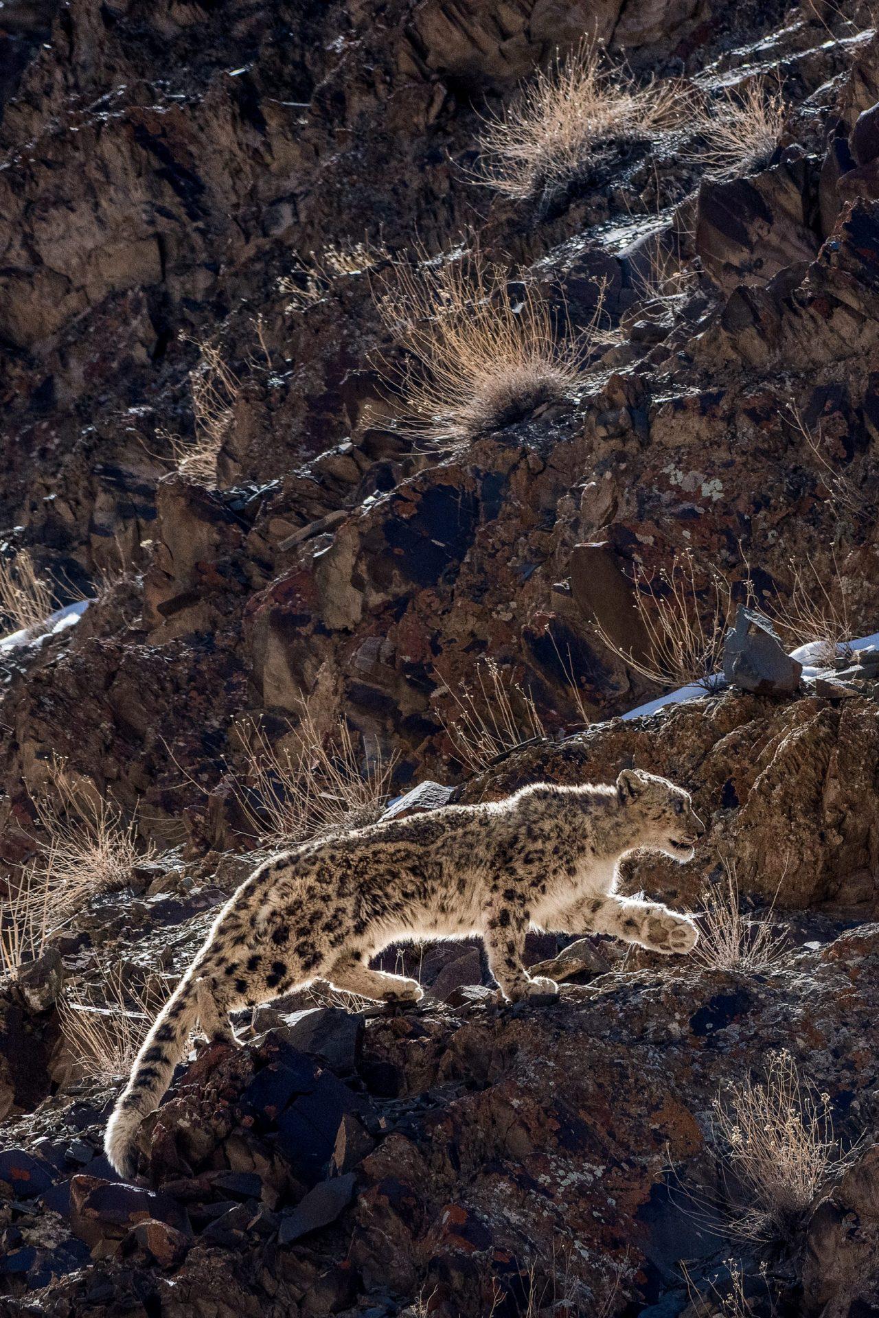 LUNGMĀR_leopard